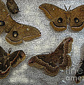 North American Large Moth Collection by Conni Schaftenaar