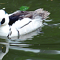 North American Male Smew by Optical Playground By MP Ray