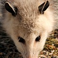 North American Opossum In Winter by J McCombie