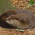 North American River Otter by Millard H. Sharp