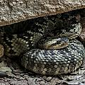 Northern Black-tailed Rattlesnake 2 by Arterra Picture Library