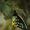 Northern Butterfly by Penny Lisowski