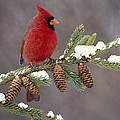 Northern Cardinal And Pine Cones by Steve Gettle