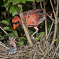 Northern Cardinal At Nest by Anthony Mercieca