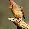 Northern Cardinal Cardinalis Cardinalis by Anthony Mercieca