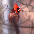 Northern Cardinal Dominent Male by Travis Truelove