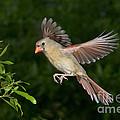 Northern Cardinal Hen by Anthony Mercieca
