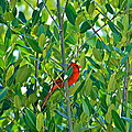 Northern Cardinal Hiding Among Green Leaves by Cyril Maza
