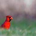 Northern Cardinal In Loup County by Chuck Haney
