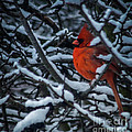 Northern Cardinal In Winter by Ronald Grogan