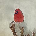 Northern Cardinal by Sandy Keeton