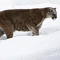 Northern Depths Cougar In The Winter Snow by Inspired Nature Photography Fine Art Photography