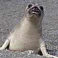 Northern Elephant Seal Weaner by Liz Leyden