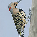 Northern Flicker by Nathan Marcy