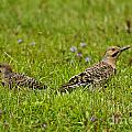 Northern Flicker Pictures 42 by World Wildlife Photography