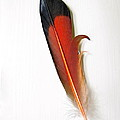 Northern Flicker Tail Feather by Sean Griffin
