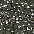 Northern Gannet Colony Shetland Islands by Tui De Roy
