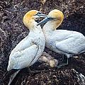 Northern Gannets And Chick 2 by Perla Copernik
