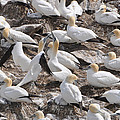 Northern Gannets by Colleen English