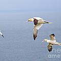 Northern Gannets In Flight by Louise Heusinkveld