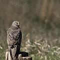 Northern Harrier At Rest by Michael Winn
