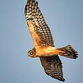 Northern Harrier by Bob Stevens