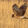 Northern Harrier by Doug McPherson