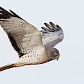 Northern Harrier Hawk Hunting by Ken Archer