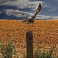 Northern Harrier by Jon Burch Photography