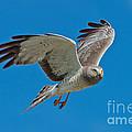 Northern Harrier Male In Flight by Anthony Mercieca