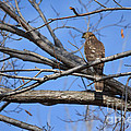Northern Harrier  by Ruth  Housley