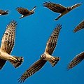 Northern Harrier Sequence by Lee Bertrand