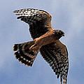 Northern Harrier by Stephanie Salter