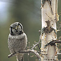 Northern Hawk Owl In The Spring Alaska by Michael Quinton