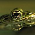 Northern Leopard Frog by Heidi & Hans-Juergen Koch