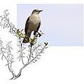 Northern Mockingbird by Andrew McInnes
