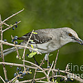 Northern Mockingbird by Anthony Mercieca
