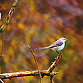 Northern Mockingbird by Deena Stoddard