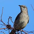 Northern Mockingbird IIi by Bruce J Robinson