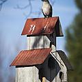 Northern Mockingbird by Teresa Mucha