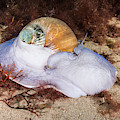Northern Moon Snail by Andrew J. Martinez