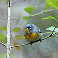 Northern Parula On Branch by Norman Johnson