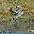 Northern Pintail Drake Taking by Anthony Mercieca