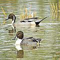 Northern Pintail Ducks  by Saija  Lehtonen