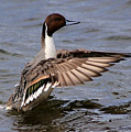 Northern Pintail Feeling Good by Sue Harper