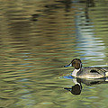 Northern Pintail In A Quiet Pond California Wildlife by Dave Welling