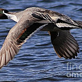 Northern Pintail In Flight by Sue Harper
