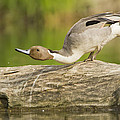 Northern Pintail  by Mircea Costina Photography