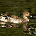 Northern Pintail Molting by Anthony Mercieca