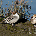 Northern Pintail Pair At Rest by Anthony Mercieca